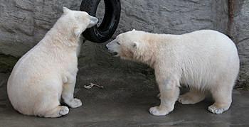 Zoo Schönbrunn - Eisbären