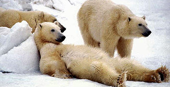 Rettet den Eisbären