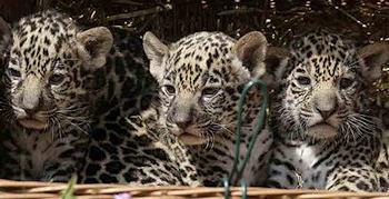 Jaguar-Babys im Berliner Zoo