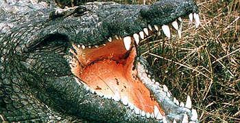 Mädchen von Krokodil getötet