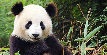Riesenpanda - An An
