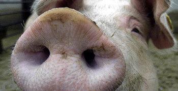 Schweineinfluenza in Österreich